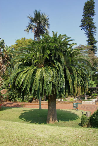 Photograph of Encephalartos woodii at Durban Botanic Garden