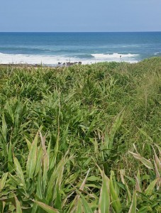 Photograph of vegetation near Park Rynie beach