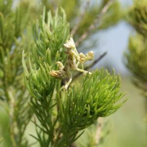 Photograph of unusual praying mantis