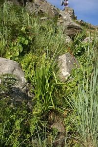 Rosette of Kniphofia splendida amongst rocks