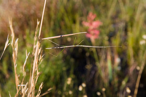 Phalces brevis - Cape stick-insect (Phasmatodea)