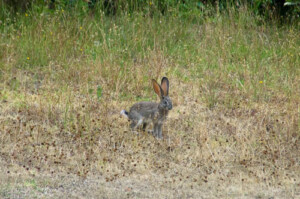 Scrub hare showing white underside