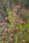 Erica paucifolia subsp. paucifolia (Ericaceae)