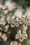 Gomphocarpus cancellatus (Apocynaceae)
