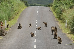 Baboons on road near Didima Camp, Cathedral Peak