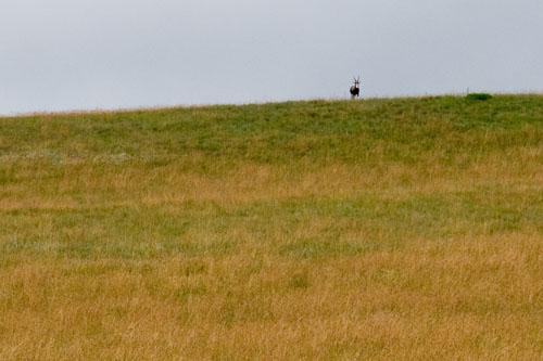Blesbok on ridge at Highmoor