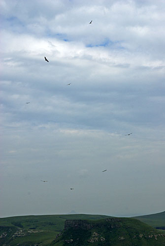 Cape vultures circling above Dumbe