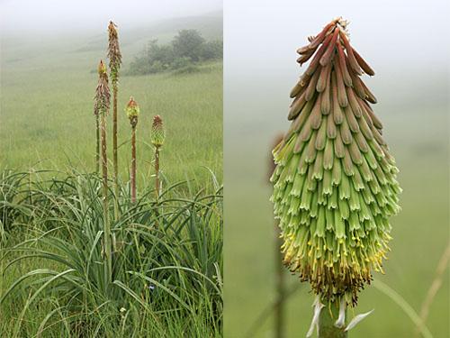 Kniphofia albomontana near White Mountain