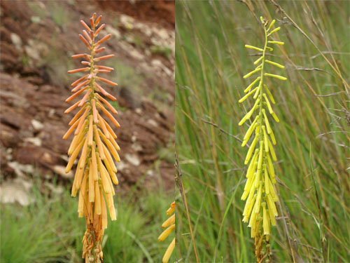 Photographs of orange and yellow forms of Kniphofia laxiflora