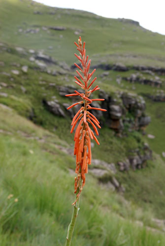 Photograph of spike of Kniphofia laxiflora