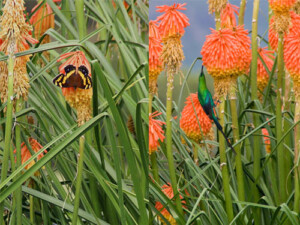 Photograph of Kniphofia pollinators at Walkerbouts Inn