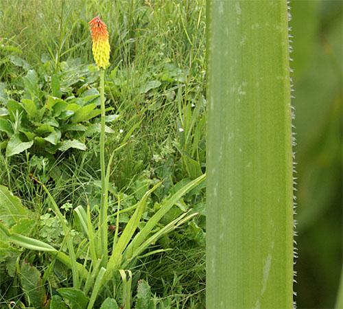 Kniphofia ritualis, Asphodelaceae, and ciliate margin