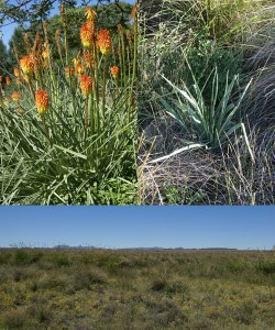 Photographs of garden hybrids, K. ensifolia rosette and the habitat in which it grows