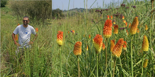Photographs of Syd Ramdhani and Kniphofia