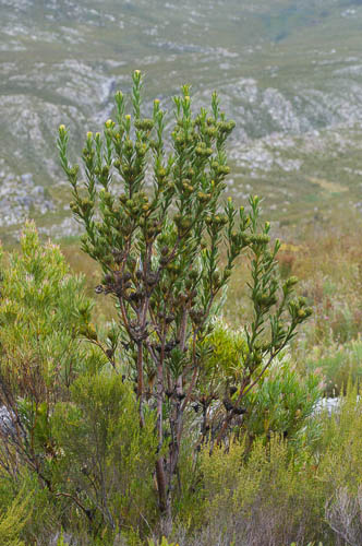 Aulax umbellata (broad-leaved featherbush, Proteaceae)on slopes of Phillipskop
