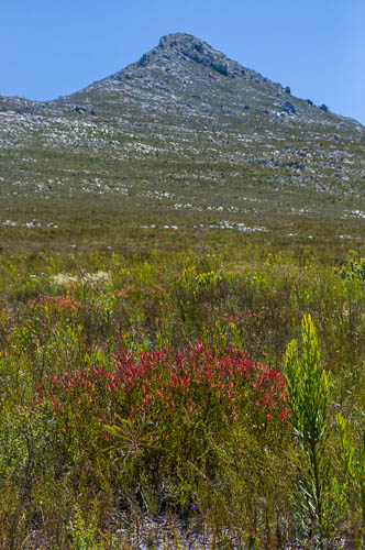 New growth of Leucadendron salignum (Proteaceae) in front of Phillipskop
