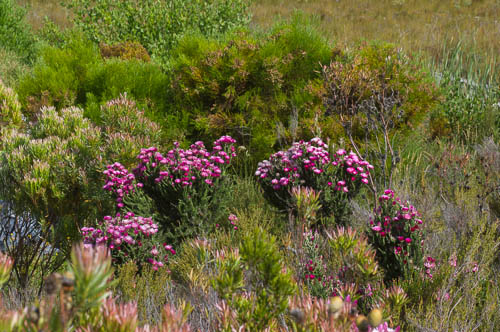 Plants of Phaenocoma prolifera (Asteraceae) in fynbos