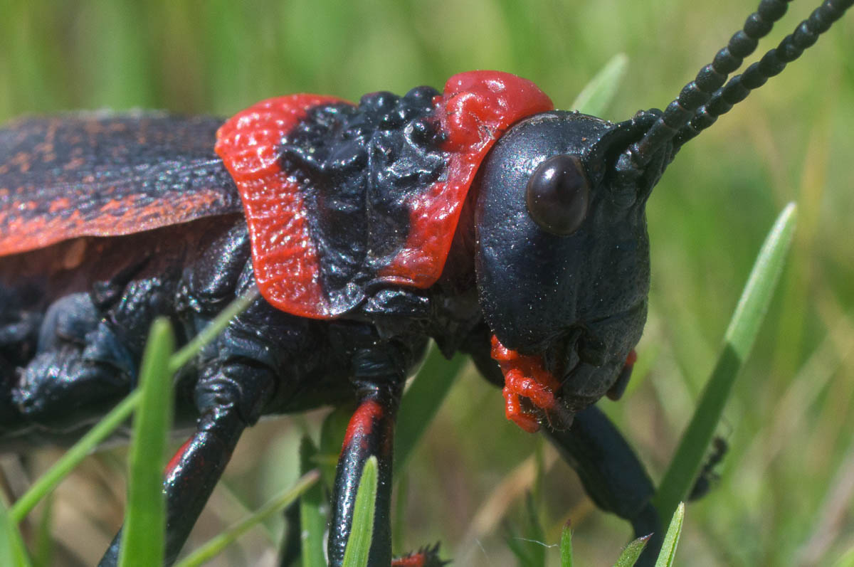 Koppie Foam Grasshopper (Dictyophorus spumans)