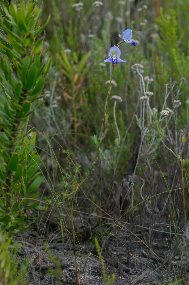 Disa purpurascens (Orchidaceae)