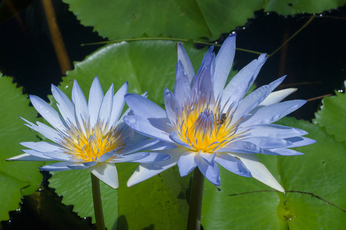 Nymphaea nouchali var. caerulea (Nymphaeaceae) Cape blue waterlily on pond at Phillipskop