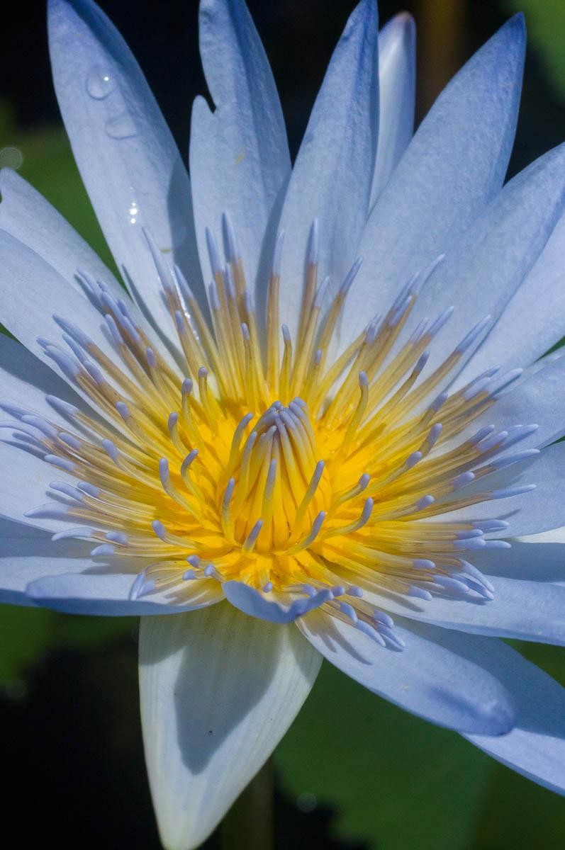 close-up of Nymphaea nouchali var. caerulea (Nymphaeaceae) Cape blue waterlily