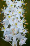Bulbinella trinervis (Asphodelaceae)