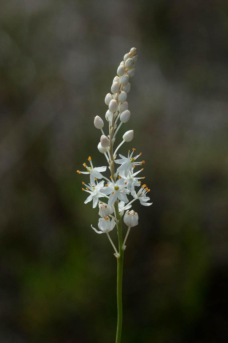 Flowering spike of Bulbinella trinervis (Asphodelaceae)