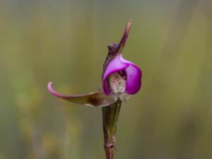 Disperis capensis flower (Orchidaceae)