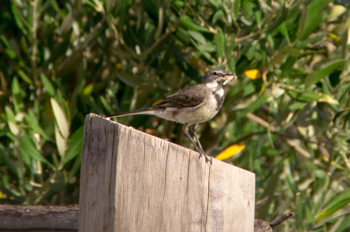 Cape Wagtail (Motacilla capensis) with grasshopper