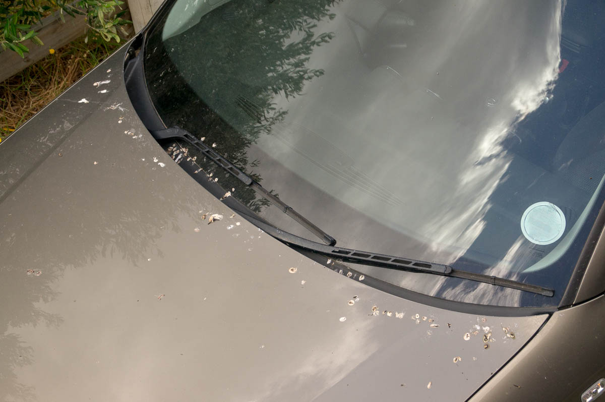 Cape Wagtail (Motacilla capensis) droppings on car