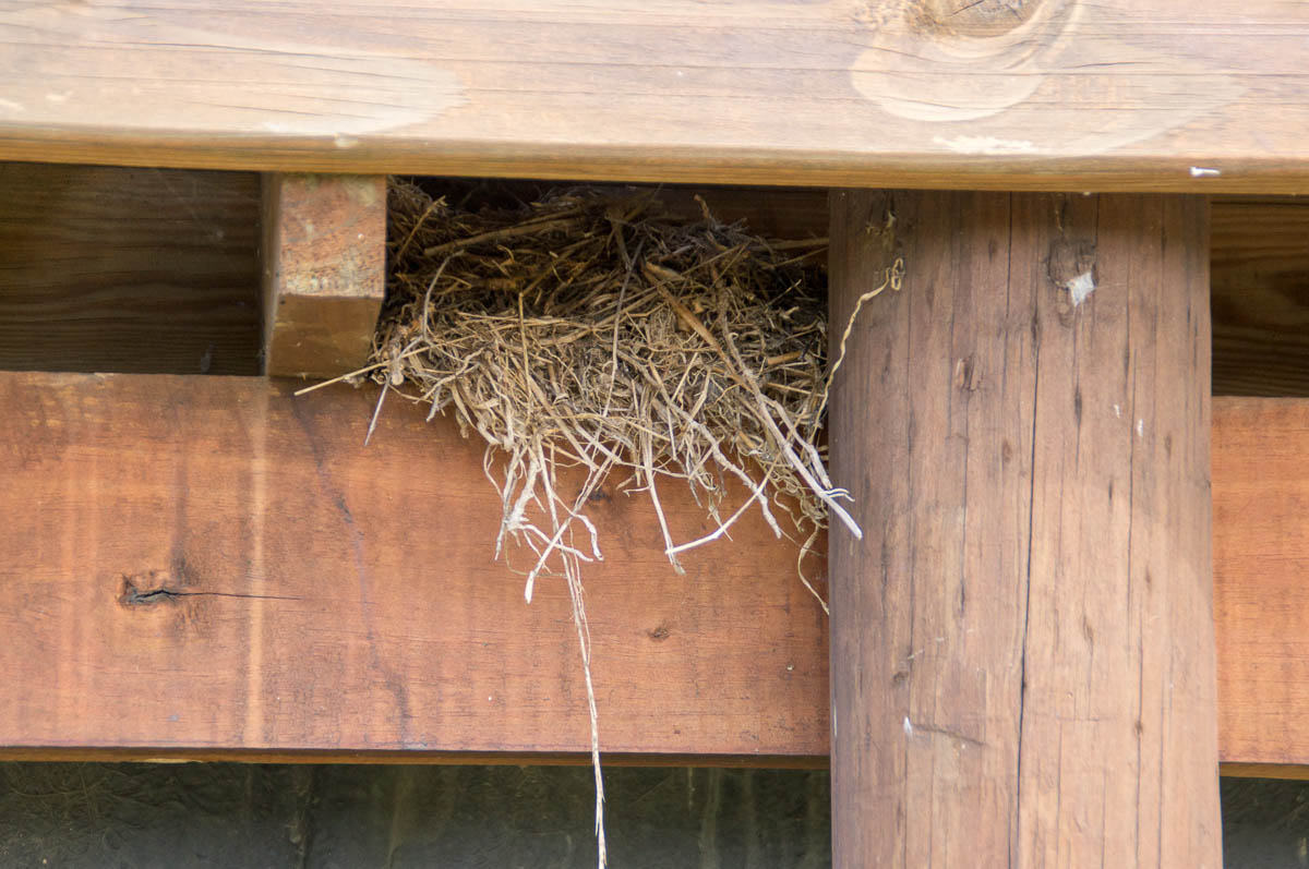 Cape Wagtail (Motacilla capensis) nest
