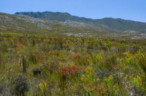 Fynbos hillside with Leucadendron