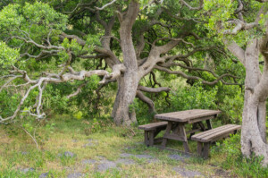 Maytenus oleoides (Celastraceae) klipkershout