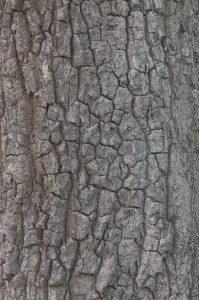 Bark of Maytenus oleoides (Celastraceae)