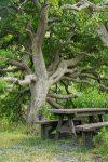 Picnic tree - Maytenus oleoides (Celastraceae)