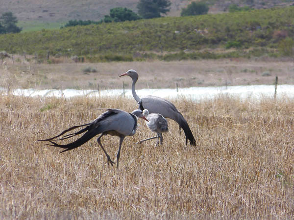 Blue Cranes with chick in the Overberg