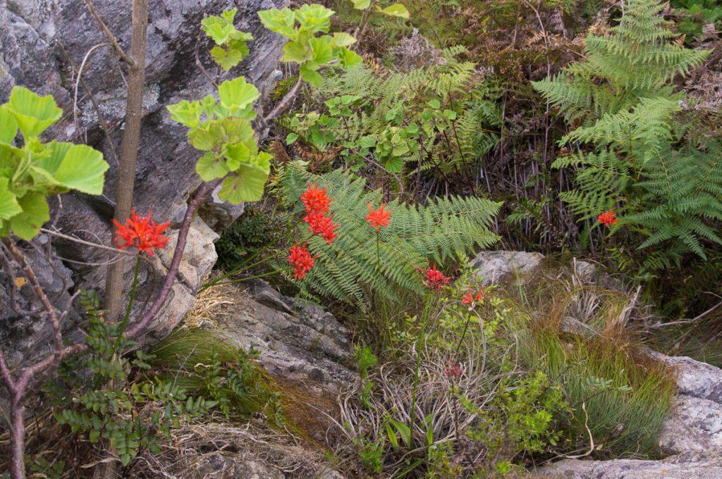 Nerine sarniensis (Amaryllidaceae)