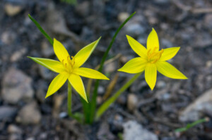 Empodium plicatum (Hypoxidaceae) flowers