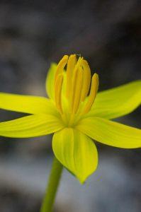 Empodium plicatum (Hypoxidaceae) flower