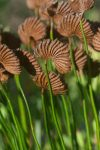 Schizaea pectinata (Schizaeaceae) fertile frond