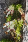 Erica banksii subsp. purpurea (Ericaceae)