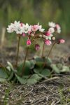 Crassula capensis (Crassulaceae)