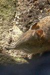 Cape Rock Sengi (Elephantulus edwardii)