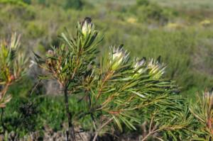 Protea longifolia (Proteaceae) flower