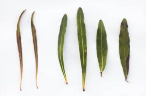 Protea longifolia x neriifolia hybrid (Proteaceae) leaves