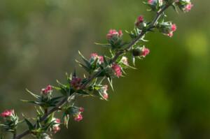 Cliffortia ruscifolia (Rosaceae) female flowers