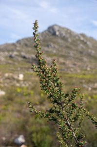 Cliffortia ruscifolia (Rosaceae) in front of Phillipskop
