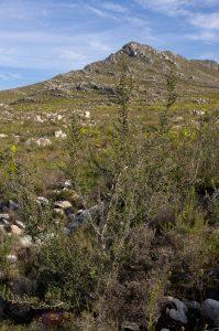 Cliffortia ruscifolia (Rosaceae) habit