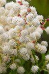 Berzelia lanuginosa (Bruniaceae)