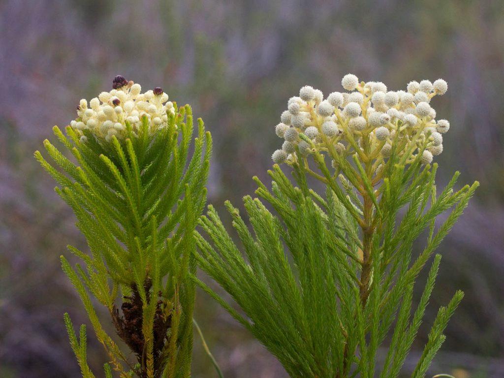 Berzelia lanuginosa and Berzelia alopecuroides (Bruniaceae)